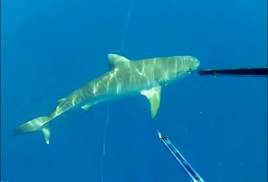 Divers in Northern Oz Stalked By Tiger Shark! SCARY FOOTAGE!!