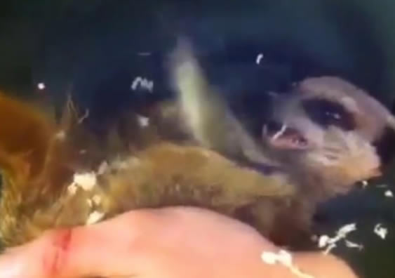 Video: Have You Ever Seen A Ticklish Meerkat?