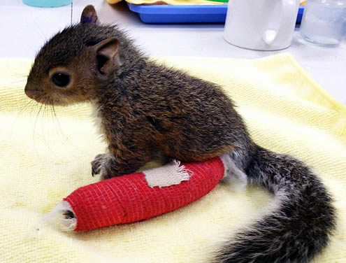 Baby Squirrel Gets A Red Cast After Falling From Nest