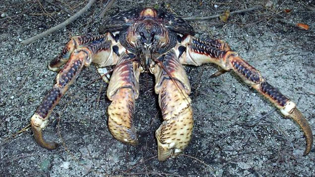 Freaks Of Nature: The Coconut Crab