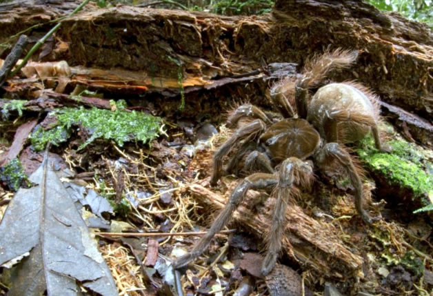 Scientist Discover Puppy-sized Giant Spider in the Rainforest
