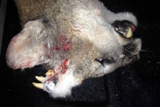 A mountain lion has been discovered with teeth growing from its head