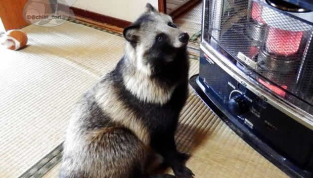raccoon-dog-japan